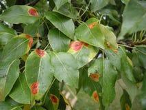 Birnenrost Gymnosporangium sabinae Krankheit auf einem Birnenbaum treibt Blätter Geschossen in einem Studio Stockfoto