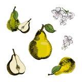 Birnenskizze Gezeichnete Birne der Weinlesetinte Hand, lokalisiert auf weißem Hintergrund Stockfotos
