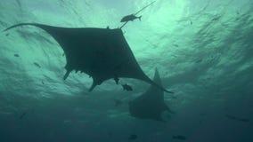 Birostris и водолазы Manta морского дьявола в El Boilier трясут около острова Sanbenedicto от архипелага Revillagigedo акции видеоматериалы