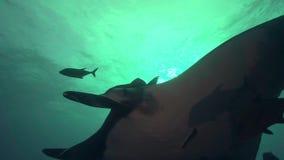 Birostris и водолазы Manta морского дьявола в El Boilier трясут около острова Sanbenedicto от архипелага Revillagigedo сток-видео