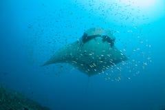 Birostris d'un manta entourés par des poissons Images stock