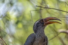 Birostris di Ocyceros o l'indiano Grey Hornbill fotografia stock libera da diritti
