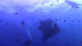 Birostris Manta морского дьявола пелагические на станции чистки в радже Ampat видеоматериал