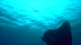 Birostris Manta морского дьявола чернят остров n Socorro manta и водолазов от архипелага Revillagigedo сток-видео