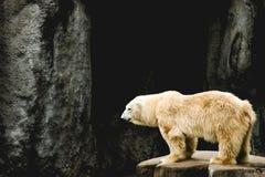 Birra polare che si occupa del suo proprio affare Immagine Stock