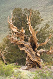 Birstlecone Pine Tree. Twisted trunk of an ancient bristlecone pine - world's oldest living things - more than 4000 years old royalty free stock photos