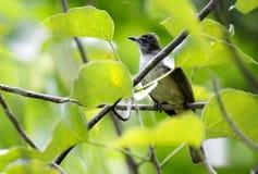 Hoanhhoach Bird. Birt at Ho Chi Minh  ,  Viet Nam Stock Image