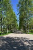 Birtch alley. Alexander Park . Tcarskoe Selo Pushkin . St . Petersburg Russia royalty free stock image
