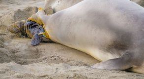 Birth of a Baby Elephant Seal California Stock Photography