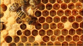 Birth of bee. stock footage