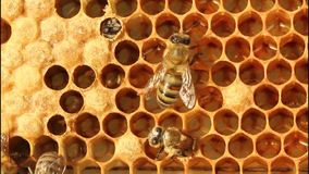 Birth of bees stock video