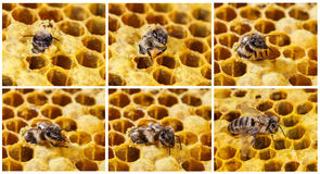 Birth bees. The birth of the working bee Royalty Free Stock Images