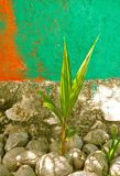 Birth of a coconut tree. A coconut is giving birth Stock Photo