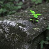 Birth and death. Green sprout in age-old tombstone. Birth and death stock image