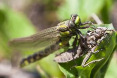 Birth of the dragonflie. Dragonflie moment of birth. Close up photo Stock Images
