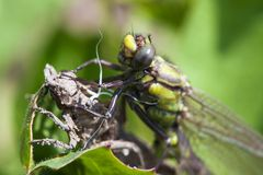 Birth of the dragonflie. Dragonflie moment of birth. Close up photo Stock Image