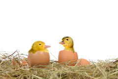 Birth duckling Royalty Free Stock Photos