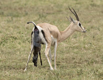 Birth of a Grant's gazelle. Africa, Tanzania Serengeti National Park , birth of a Grant's gazelle antelope Royalty Free Stock Photography