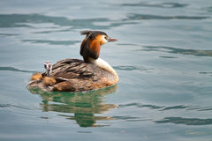 Birth of great crested grebe Stock Photography