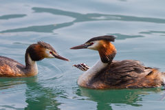Birth of great crested grebe Royalty Free Stock Image