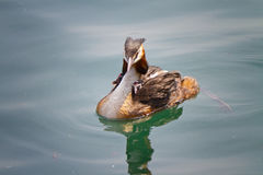 Birth of great crested grebe Royalty Free Stock Images