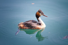 Birth of great crested grebe Royalty Free Stock Photography