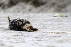 Birth of a grey seal royalty free stock photo