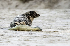 Birth of a grey seal Royalty Free Stock Image