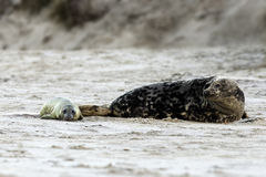 Birth of a grey seal Royalty Free Stock Images