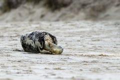Birth of a grey seal Stock Photos
