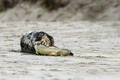 Birth of a grey seal Stock Image