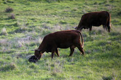 Birth of heck cattle in the meadow Royalty Free Stock Photography