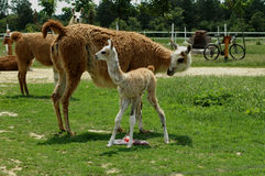 Birth of a Llama (Lamag glama). Few minutes after birth of a Llama stock images