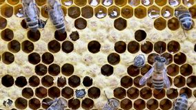 Birth of a new bee. stock footage