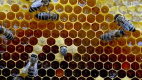 Birth of a new bee. stock video footage