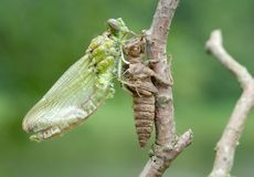 Free Birth Of A Dragonfly (series 5 Photos) Royalty Free Stock Photos - 11604708
