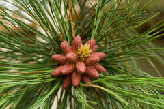 Birth On Some Pine Cones Stock Photo