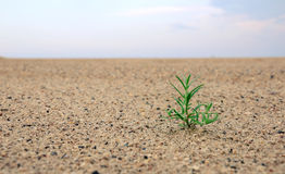 Birth of a plant in the desert. Under sunlight Royalty Free Stock Photo