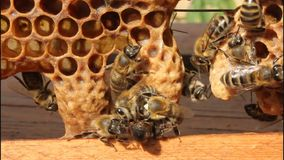 Birth of Queen Bees stock footage