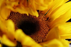 Birth of a Sunflower Stock Image