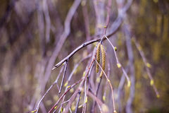 Birth tree twig with catkins Royalty Free Stock Photography