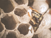 Birth of young worker wasp Royalty Free Stock Photo