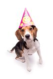 Birthday Beagle, isolated Stock Image