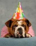 Birthday bulldog Royalty Free Stock Photo