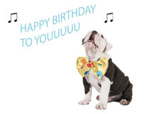 Birthday card with english bulldog singing. Happy birthday card with singing english bulldog puppy dog on a isolated background Stock Photography