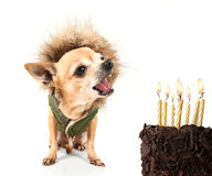 Birthday chihuahua Royalty Free Stock Photos