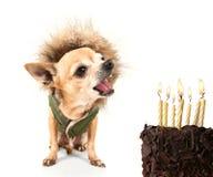 Birthday chihuahua Royalty Free Stock Photos