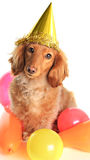 Birthday dachshund dog Royalty Free Stock Image