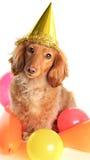 Birthday dachshund dog Royalty Free Stock Image