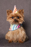 Birthday dog. Yorkshire terrier dog wearing birthday hat Royalty Free Stock Photography